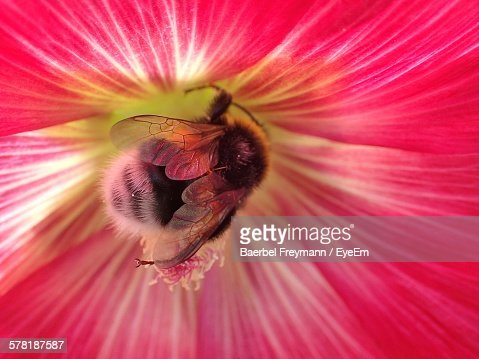 Detail Of Bumblebee Pollinating On Pink Hibiscus
