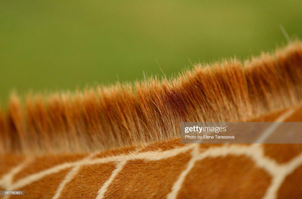 Detail of coat pattern and mane on giraffe's neck : Stock Photo