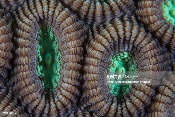 Detail of coral polyps (Diploastrea sp.) on a reef in Lembeh Strait, Indonesia.