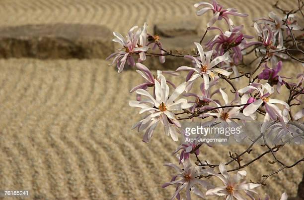 Detail of flowers on a magnolia tree in a zen garden