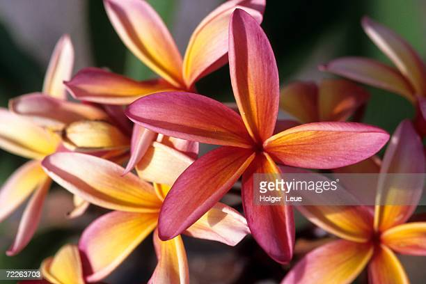 Detail of frangipani flowers, New Caledonia