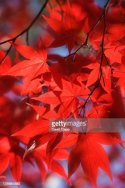 Detail of Japanese Acer Leaves (Acer palmatum)
