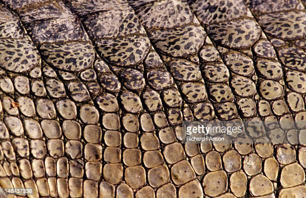 Detail of marsh mugger crocodile skin at Gharial Breeding Centre at Kasara.