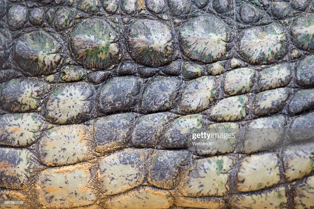 Detail of Nile crocodile skin