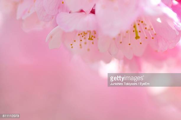 Detail of pink cherry blossom flowers