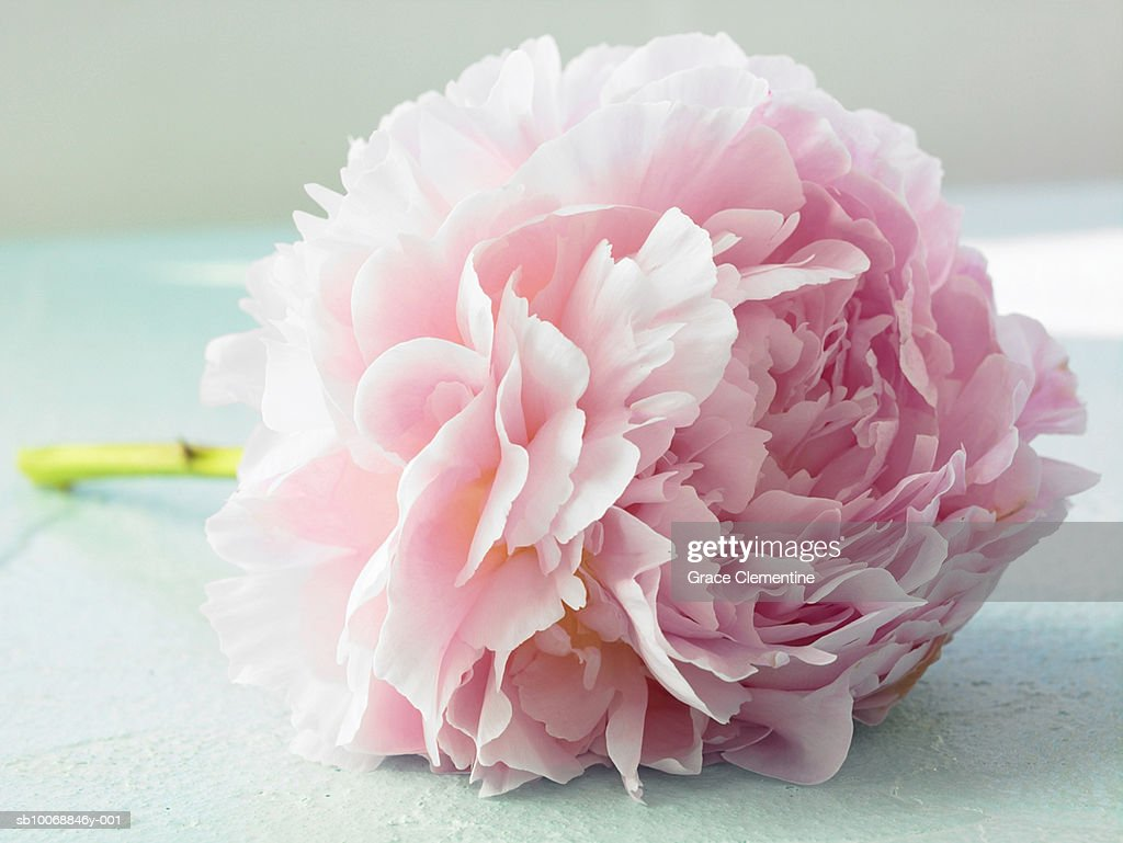 Detail of pink peony (Paeonia lactiflora) : Stock Photo