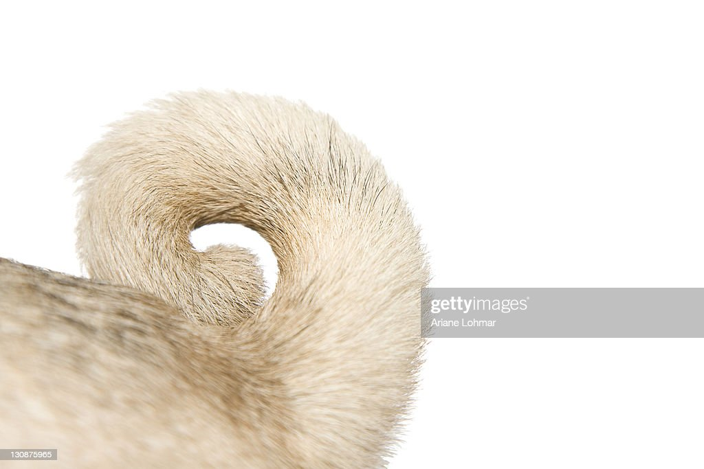 Detail of pug's tail, ring-tailed