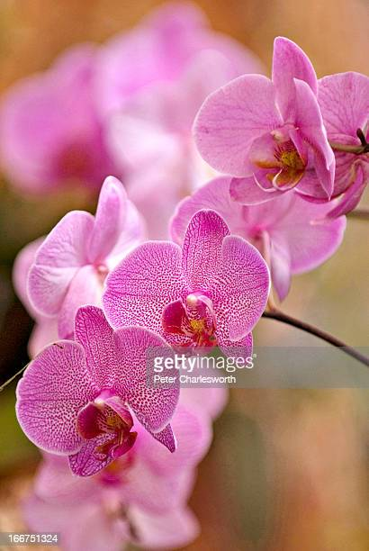 Detail of some Phalaenopsis Orchids