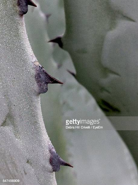 Detail Of The Agave Plant