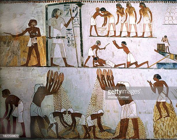A detail of wall painting in the tomb of Menna showing grain winnowers In the top right register a delinquent taxpayer is apprehended and in the...