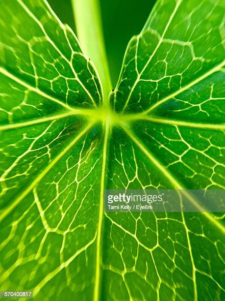 Detail Shot Of Green Leaf Veins
