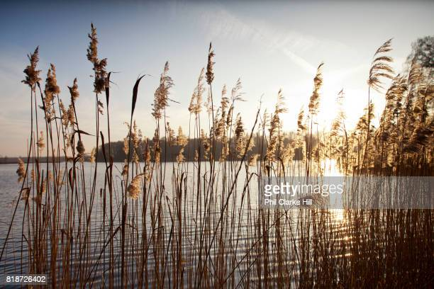 Detail shot of lomg grass as the sun sets in Uckermarkische Seen Natural park part of the The Feldberg Lake District Nature Park containing large...
