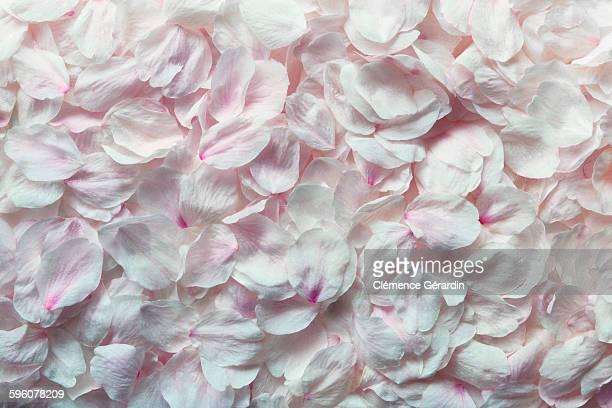 Detail shot of pink rose petals