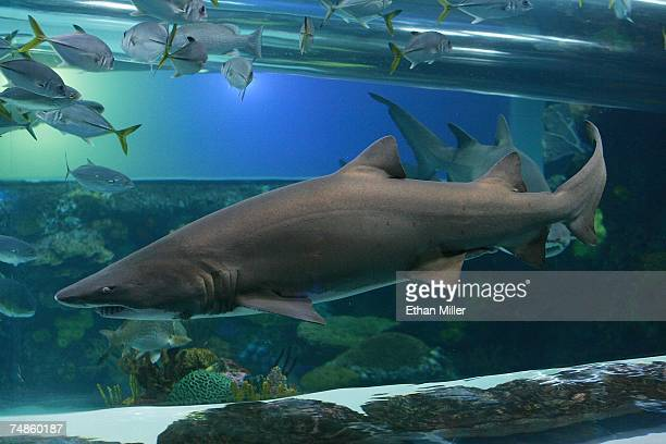 A detail view of sharks and fish in the tank at the Golden Nugget Hotel Casino pool during 'The Grand' after party during the CineVegas film festival...