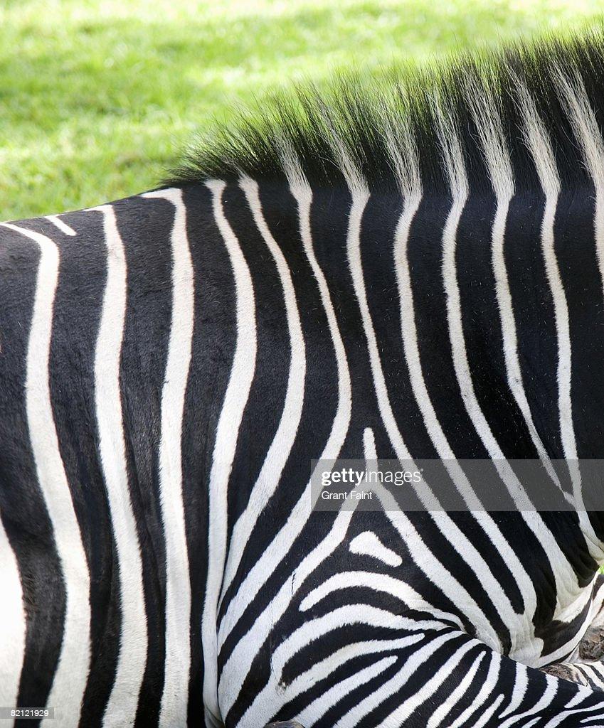 detail zebra design : Stock Photo
