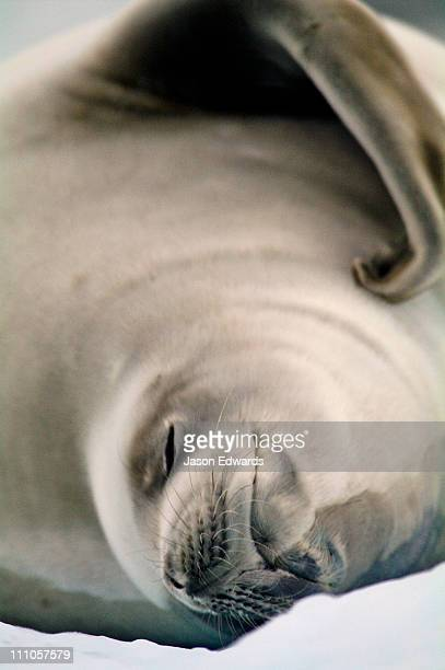 A Crabeater Seal on an iceberg scratches it's fur with a flipper.