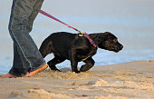 A young labrador retriever puppy pulling against the leash on a beach walk.