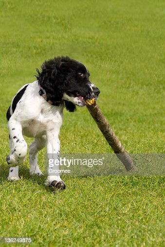Determination!-puppy drags large stick across grass
