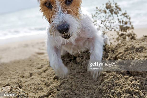 determined jack russell