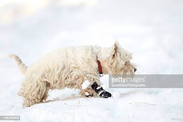 Determined west highland terrier in snow