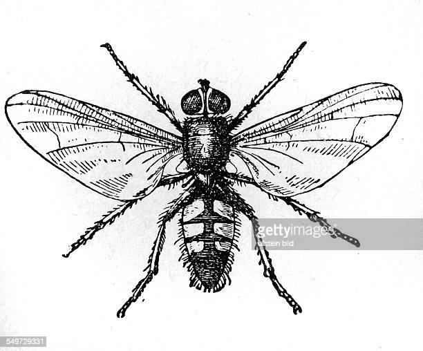GER Deutschland Alter Holzschnitt um 1880 Fliege Kleine Stubenfliege