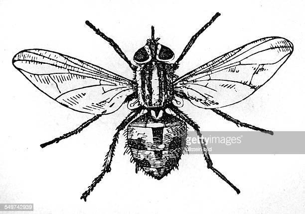 GER Deutschland Alter Holzschnitt um 1880 Fliege Stechfliege