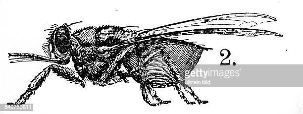 GER Deutschland Alter Holzschnitt um 1880 Tetse Fliege mit Blut vollgesaugt