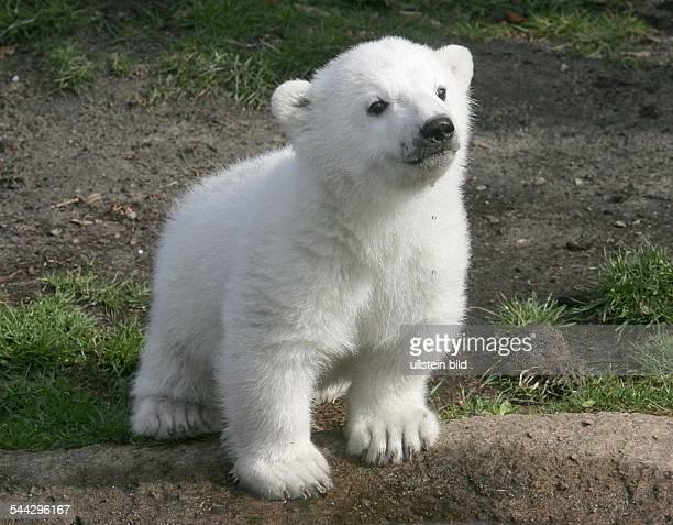 Erster Auftritt von EisbaerBaby Knut im Zoologischen Garten Berlin