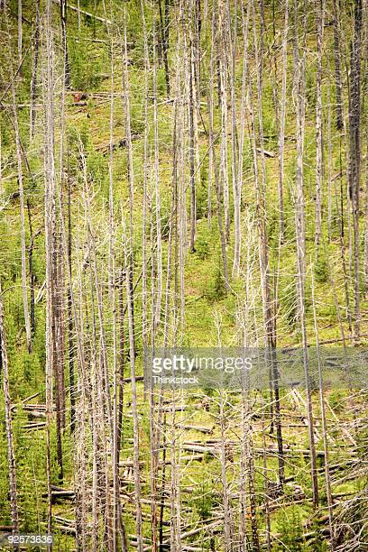 Devastated Forest, Yellowstone National Park