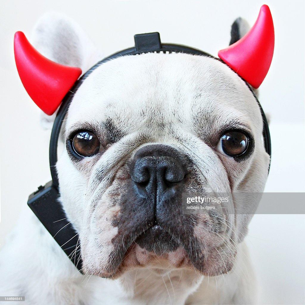 Devil dog : Stock Photo