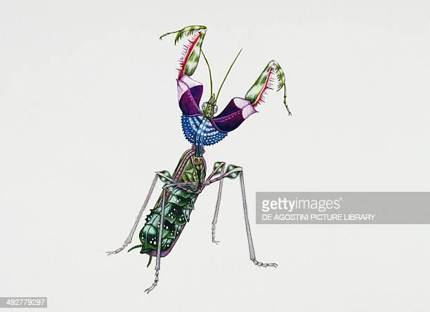 Devil mantis Empusidae Artwork by Rebecca Hardy