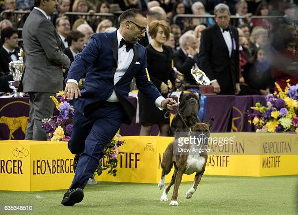 Devlin the Boxer runs with her handler Diego Garcia after winning the working group on the final night at the Westminster Kennel Club Dog Show at...