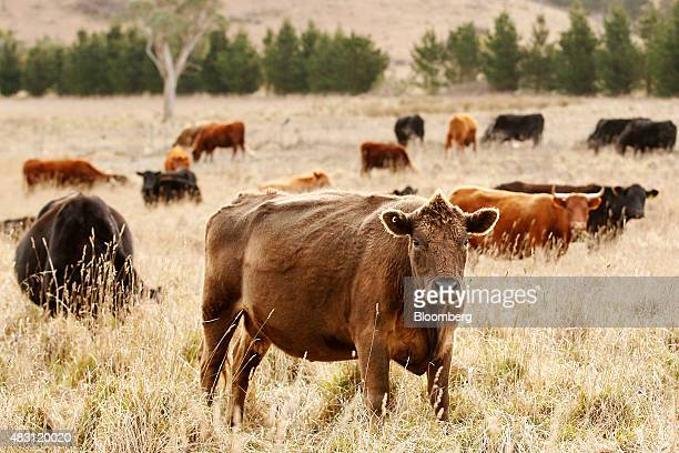 Devon and Angus cows graze in a field at the Mulloon Creek Natural Farm in Bungendore Australia on Thursday July 30 2015 Australia's gross domestic...