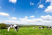 Devon field of cows