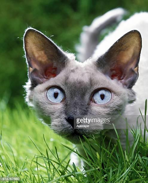 Devon Rex cat portrait staring