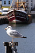 A Seagull waits at the fishing port of Brixham in Devon, England, for the next arrival of fish.