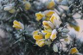 Frost on flowering gorse in winter