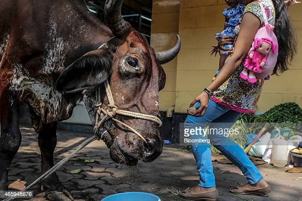 A devotee feeds a cow outside a Hindu temple in Mumbai India on Wednesday March 11 2015 The government of the state of Maharashtra last week banned...