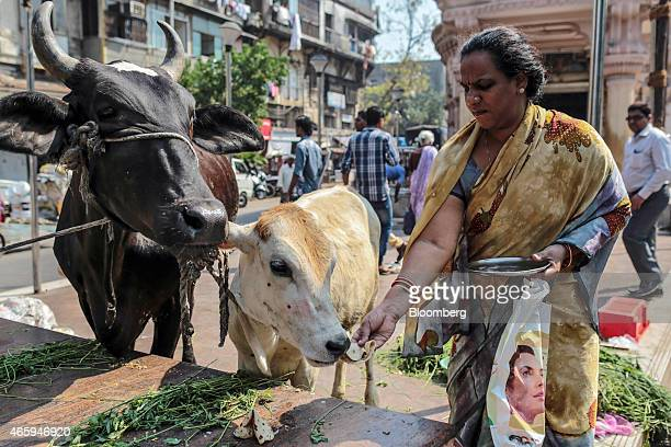A devotee feeds bread to a cow outside a Hindu temple in Mumbai India on Wednesday March 11 2015 The government of the state of Maharashtra last week...
