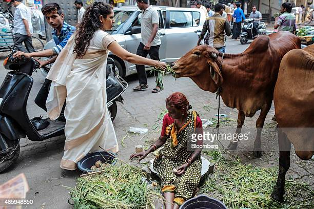 A devotee feeds grass to a cow outside a Hindu temple in Mumbai India on Wednesday March 11 2015 The government of the state of Maharashtra last week...