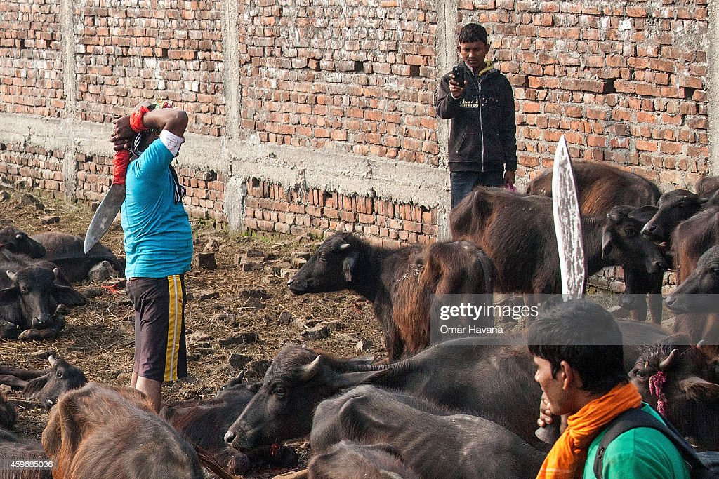 A devotee slaughters a water buffalo while one of his friends records a video on his mobile phone during the celebration of the Gadhimai festival on...