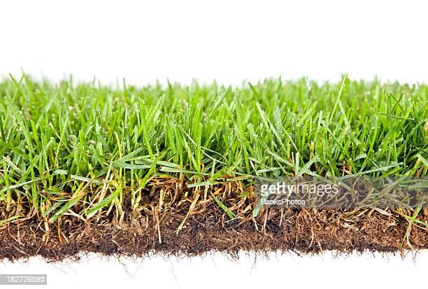 Tau beschichtete Frühling Gras, isoliert auf weiss mit sichtbaren Wurzeln
