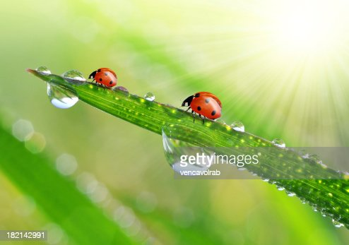 dew drops and ladybugs : Stock Photo