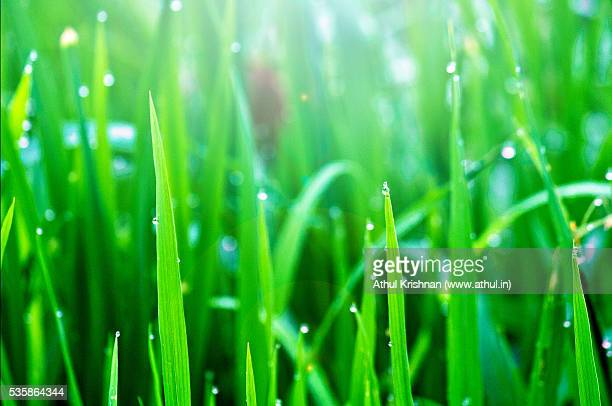 Dew drops of blades of paddy leaves