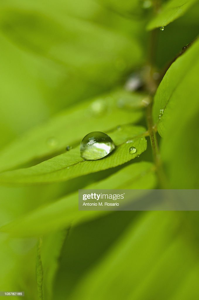 Dew drops of green leaves : Stock Photo