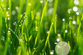 Background of dew drops on bright green grass. Close up shot.