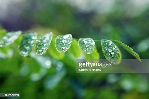 Dew drops on leaves. : Foto de stock
