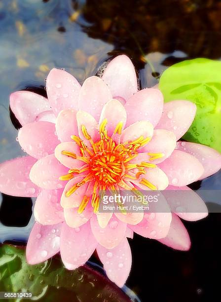 Dew Drops On Pink Lotus Flower In Pond