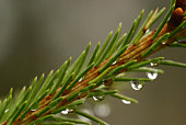 Dew drops on spruce