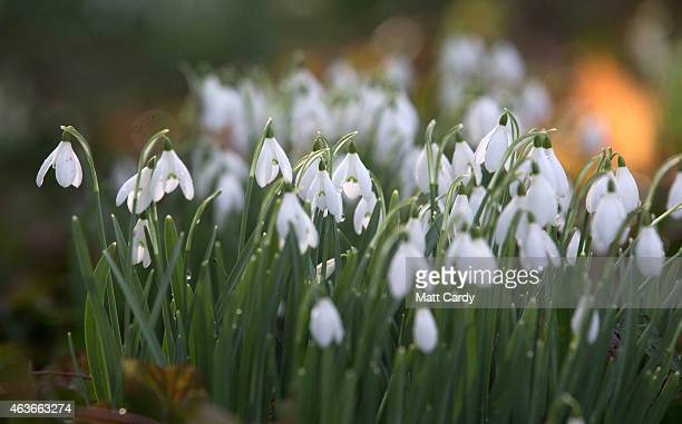 Dew drops remain on a snowdrop growing in the grounds of Springhead Trust Open Garden in Fontmell Magna on February 17 2015 in Shaftesbury England...